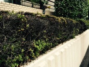 サツキ植栽