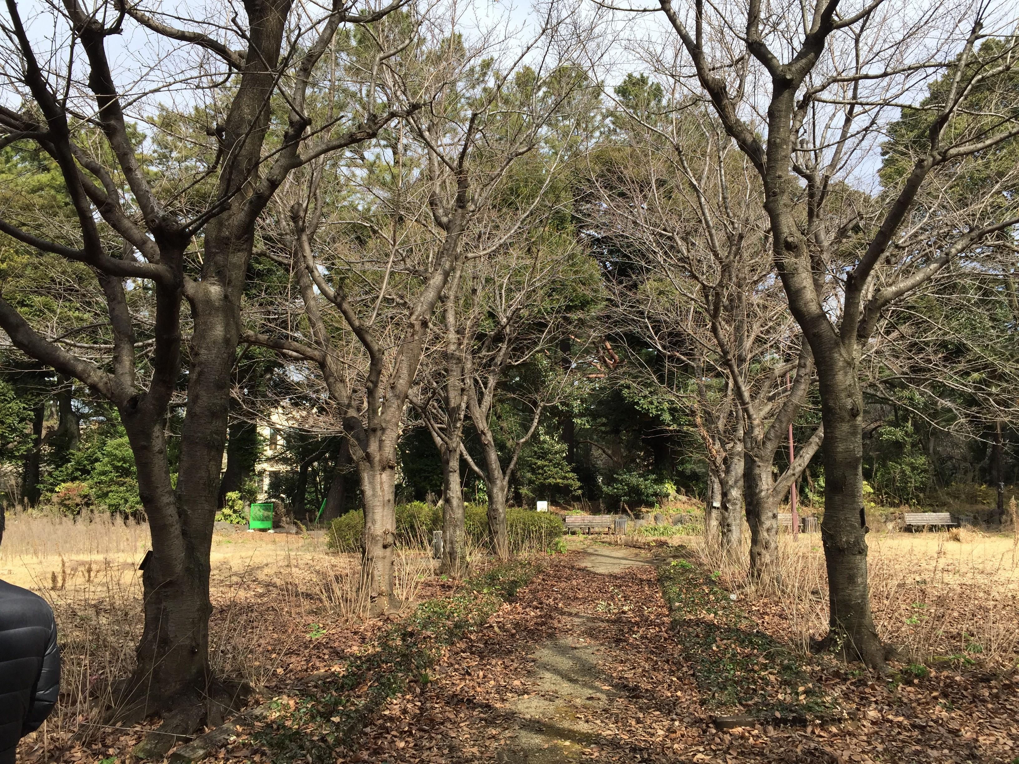 ソメイヨシノの挿し木