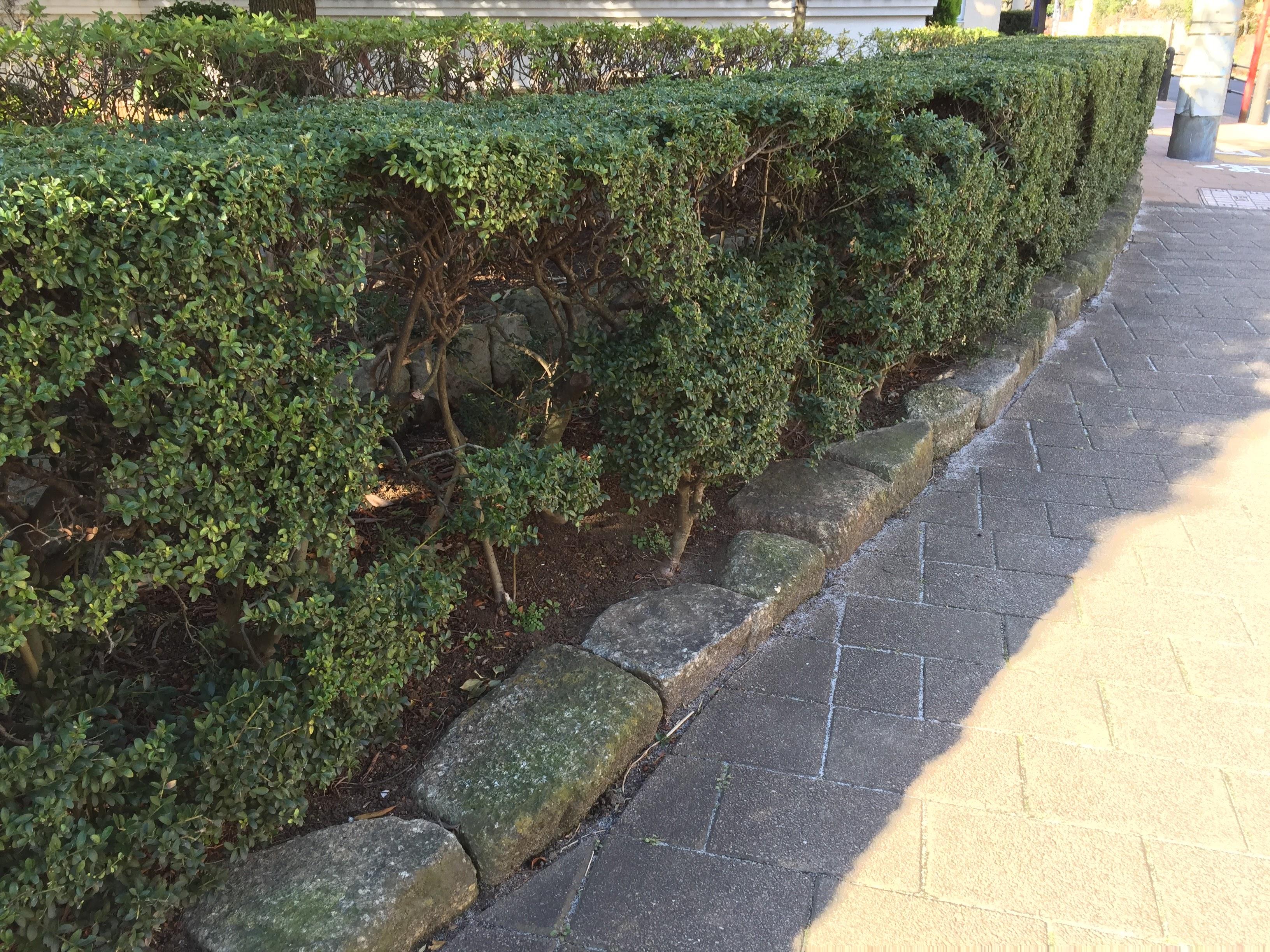 ツゲの生垣
