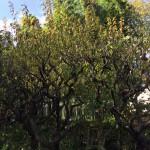 徒長枝の秋期剪定