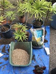 棕櫚竹の土