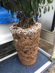 根詰まりしたガジュマルの鉢植え